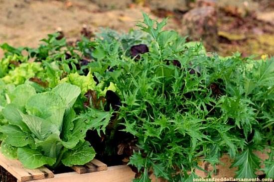 pallet-garden-lettuce